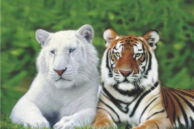 Brothers (White & Orange Tigers) Art Poster Print