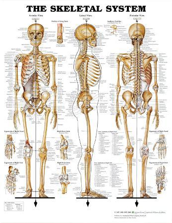 The Skeletal System Anatomical Chart Poster Print