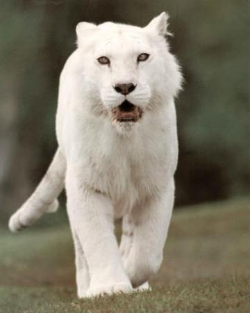 White Tiger (Stalking) Art Poster Print