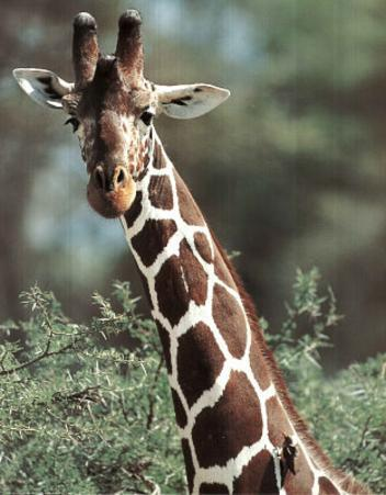 Giraffe (Animal) Photo Print Poster