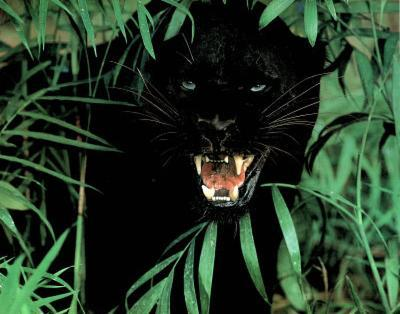 Animal Panther SCARY Black Leopard Art Print POSTER Cat