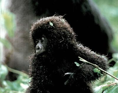 Baby Mountain Gorilla in the Wild Art Print Poster