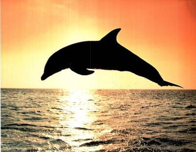 Dolphin Jumping At Sunset Art Print Poster