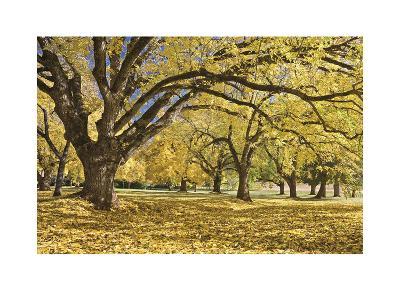 Stewart Park Walnut Trees I
