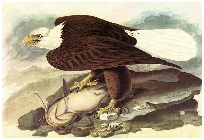Audubon Bald Eagle 2 With Fish Bird Art Poster Print