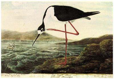 Audubon Black-Necked Stilt Bird Art Poster Print