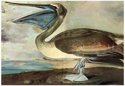 Audubon Brown Pelican Bird Art Poster Print