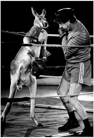 Boxing Kangaroo 1987 Archival Photo Poster
