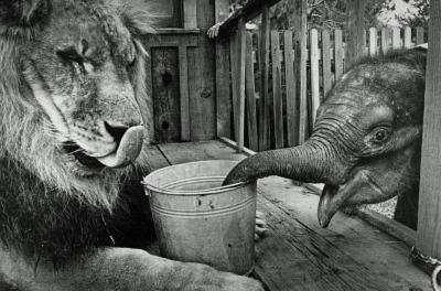 Elephant and Lion Archival Photo Poster Print