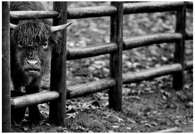 Cow and Fence 1991 Archival Photo Poster