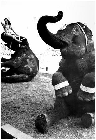 Performing Elephants Archival Photo Poster