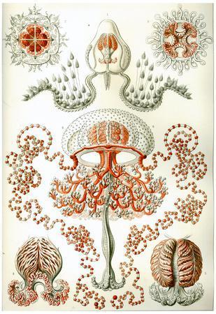 Anthomedusae Nature Art Print Poster by Ernst Haeckel