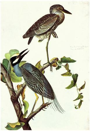 Audubon Yellow-Crowned Night Heron Bird Art Poster Print