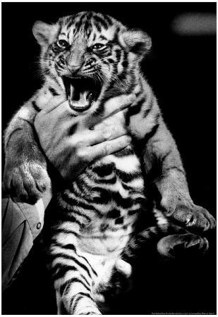 Baby Tiger Cub Archival Photo Poster