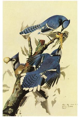 Audubon Blue Jay Bird Art Poster Print