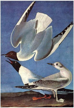 Audubon Bonaparte's Gull Bird Art Poster Print