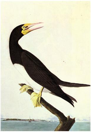 Audubon Brown Booby Bird Art Poster Print