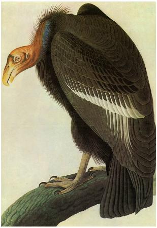 Audubon California Condor Bird Art Poster Print
