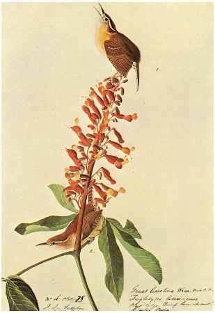 Audubon Carolina Wren Bird Art Poster Print