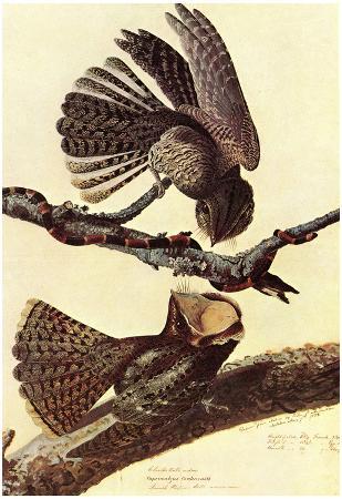 Audubon Chuck-Will's Willow Bird Art Poster Print