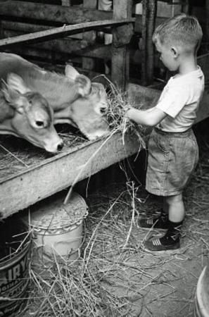 Boy Feeding Cows Archival Photo Poster Print