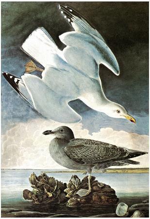 Audubon Herring Gull and Black Duck Bird Art Poster Print