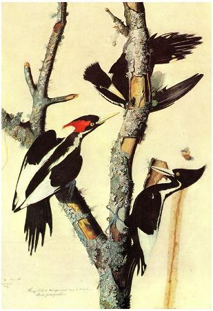 Audubon Ivory-Billed Woodpecker Bird Art Poster Print