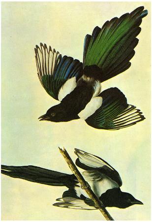 Audubon Mallard Bird Art Poster Print