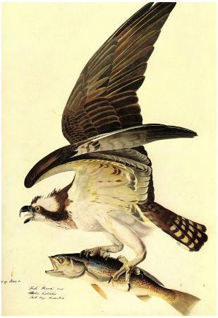 Audubon Osprey Bird Art Poster Print