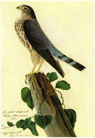 Audubon Pigeon Hawk Bird Art Poster Print