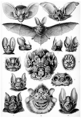 Chiroptera Nature Art Print Poster by Ernst Haeckel