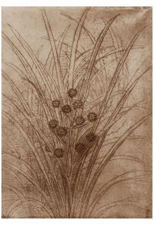 Leonardo da Vinci (Flowering reed grass) Art Poster Print