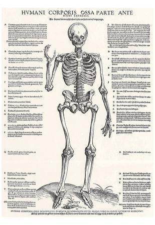 Jost de Negker (Anatomical boards of Jan van Calcar, Sheet 4: Skeleton, Front View) Art Poster Prin