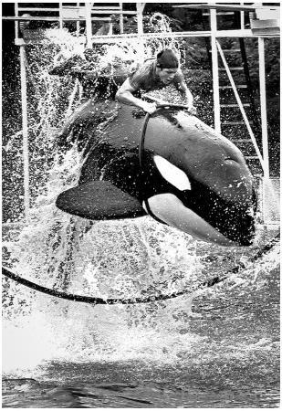 Man Riding Killer Whale 1975 Archival Photo Poster