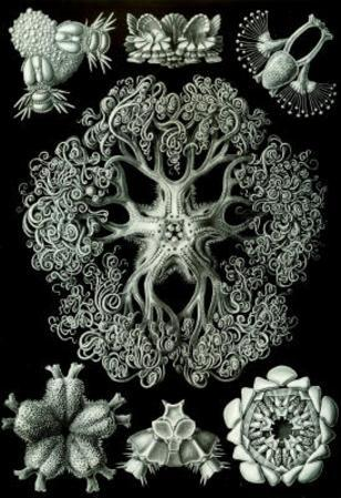 Ophiodea Nature Art Print Poster by Ernst Haeckel
