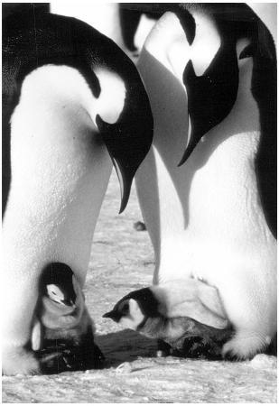Penguins With Babies Archival Photo Poster