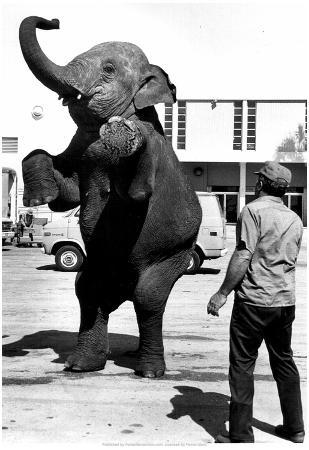 Performing Elephant 1977 Archival Photo Poster