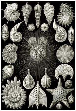 Thalamphora Nature Print Poster by Ernst Haeckel