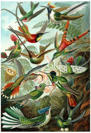 Trochilidae Nature Art Print Poster by Ernst Haeckel