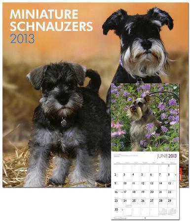 Schnauzers, Miniature (Intl) - 2013 Wall Calendar