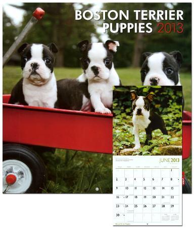 Boston Terrier Puppies - 2013 Wall Calendar