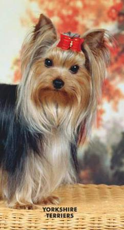 Yorkshire Terriers - 2013 Two Year Pocket Planner