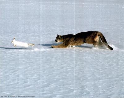Cougar Chasing Rabbit (National Geographic)