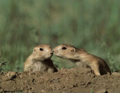 Pair Of Prairie Dogs (Kiss)