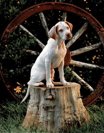 English Pointer Puppy (Sitting on Stump)