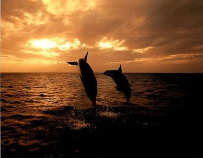 Dolphin in Ocean (Sunset)