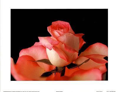 Pink White Rose Art Photo