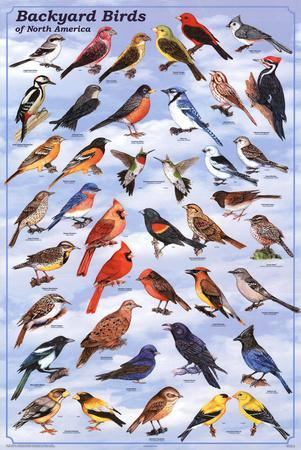 Laminated Backyard Birds Educational Science Chart Poster