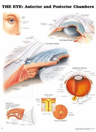 The Eye: Anterior and Posterior Chambers Anatomical Chart Poster Print
