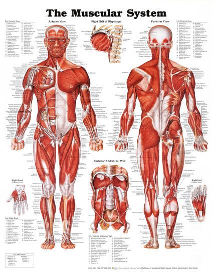 The muscular system anatomical chart poster at allposters com